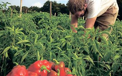 Καλλιέργεια πιπεριών Φλωρίνης