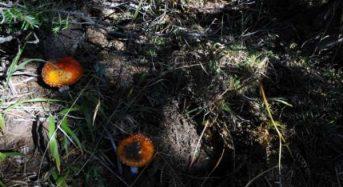 Καλλιέργεια μανιταριών στην Ελλάδα, μια αγορά σε άνοδο